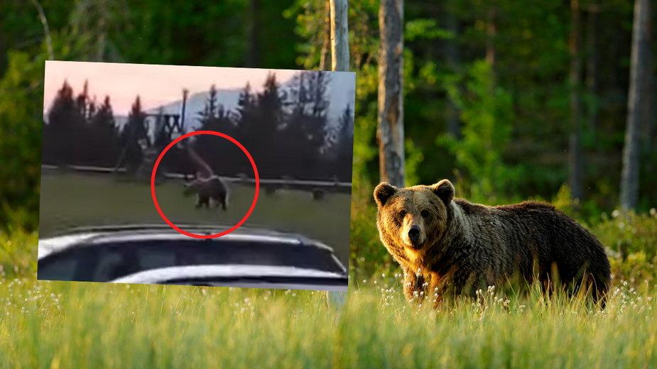 W okolicach Gubałówki grasuje niedźwiedź