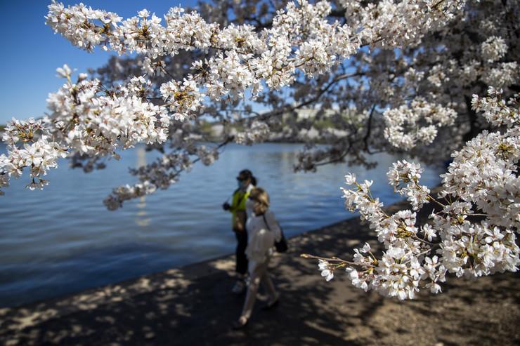 Cvetanje trešnji u Vašingtonu