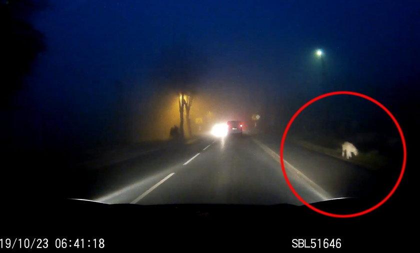 Bieruń: kierowca nagrał pumę? Mieszkańcy Śląska w strachu