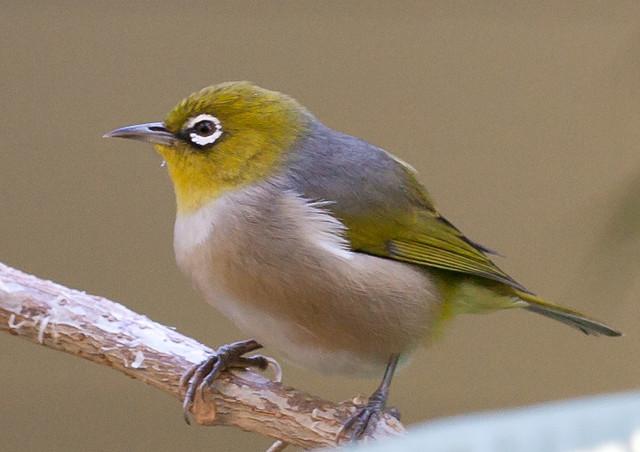 Glodari su istrebili najmanje pet vrsta ptica, a još 13 vrsta je u opasnosti