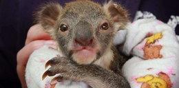 Tragiczna historia maleńkiej koali. Zobacz!