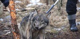 Cała wieś ratowała wilka
