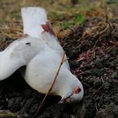 POMOR ŽIVOTINJA ZBOG ZATROVANE PŠENICE? Životinjski leševi širom Vršca uznemirili stanovništvo