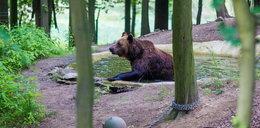 Rozbudują niedźwiedziarnię. Nowe misie przyjadą do ZOO!