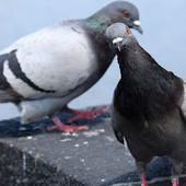 Kako da se jednostavno rešite golubova sa terasa i prozora?