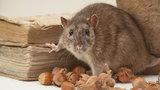Terroryzują nas szczury!
