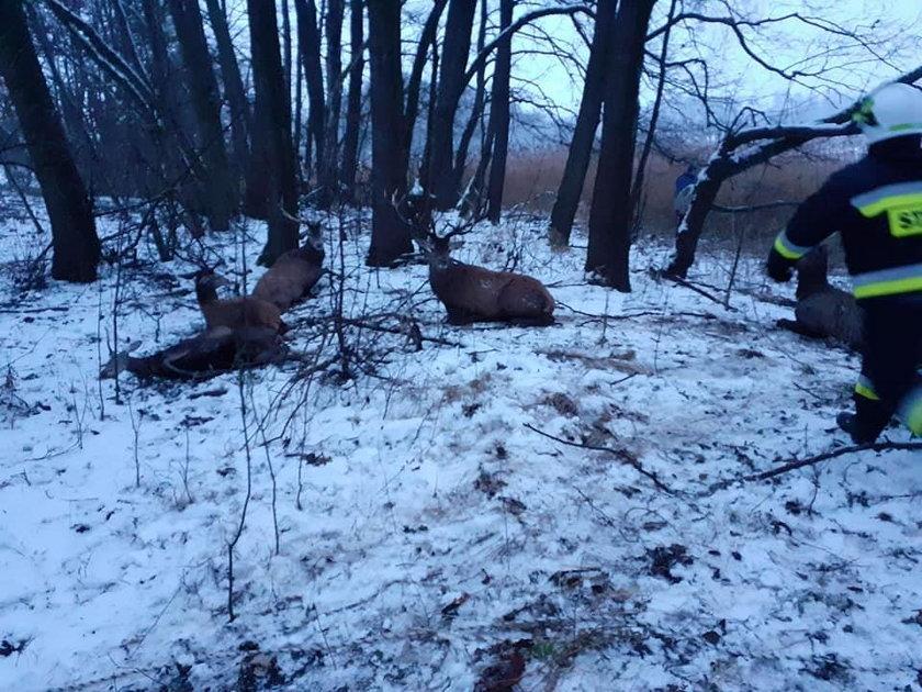 Uratowane jelenie