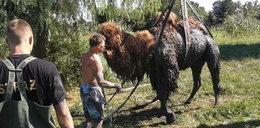 Zobacz, jak strażacy ratująwielbłąda!