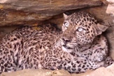AP_leopard_se_bori_za_zivot_vesti_blic_safe