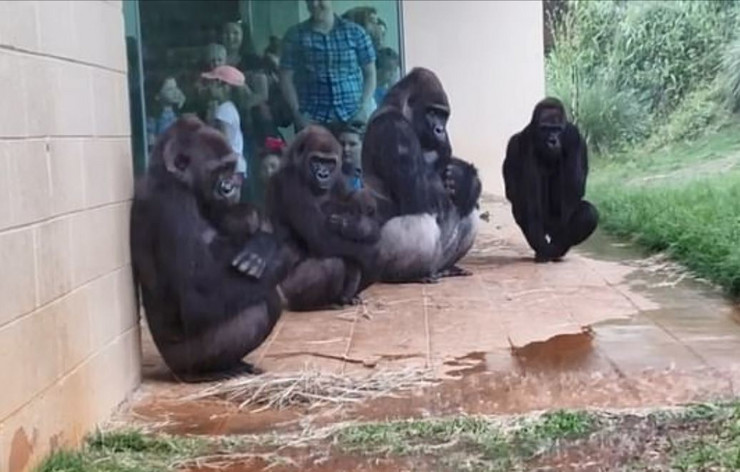 Gorile screenshot