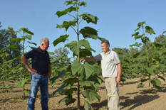 Krusevac06 paulovnija je brzorastuce drvo iz jugoistocne azije foto s milenkovic