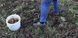 Koszmar na polu. Zbierał ziemniaki, dotkliwie ucierpiały jego genitalia