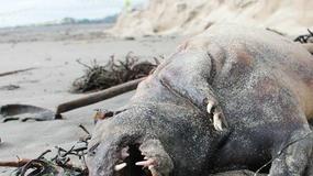 Dziwaczny stwór znaleziony na plaży