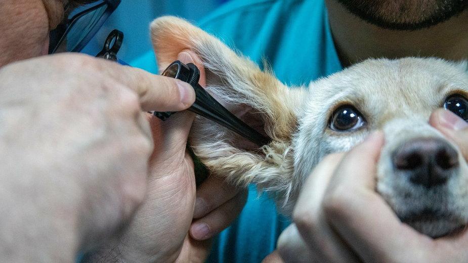 Zapalenie ucha jest bardzo bolesne dla psa - mirkosajkov/pixabay.com