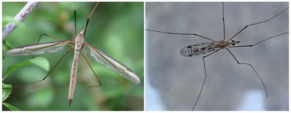 Po izrazito dugim ekstremitetima lako ih je razlikovati od komaraca