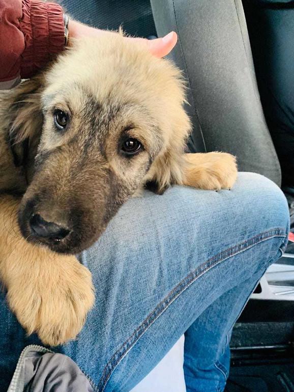 Tromesečno štene, dar predsednika Aleksandra Vučića ruskom predsedniku Putinu