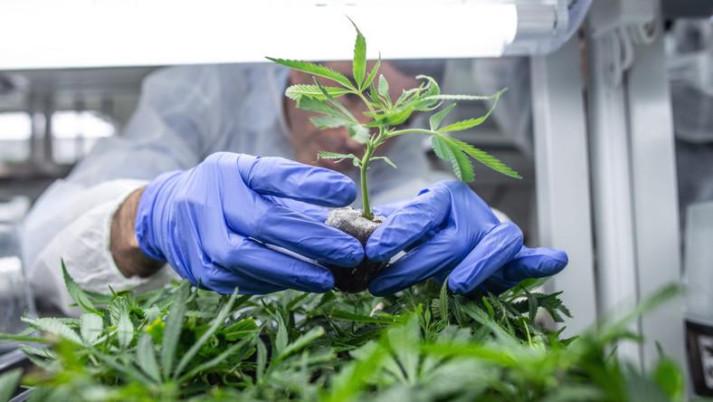 Konopie indyjskie uprawiane na plantacjach należących do izraelskiego koncernu farmaceutycznego BOL Pharma, w mieście Lod w środkowej części Izraela. Firma zajmuje się produkcją medycznej marihuany wykorzystywanej między innymi w terapii stwardnienia rozsianego czy przy leczeniu nowotworów