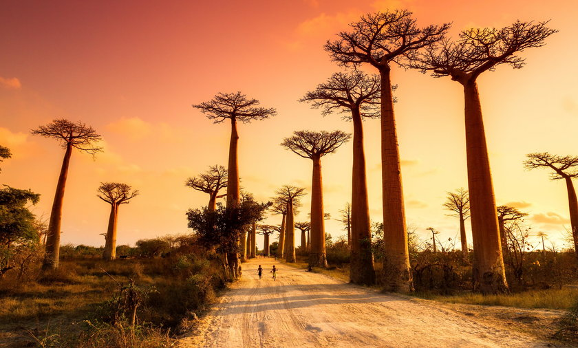 Afrykańskie baobaby