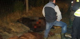 Stado koni starnowało kierowcę! Jest tylko podrapany!