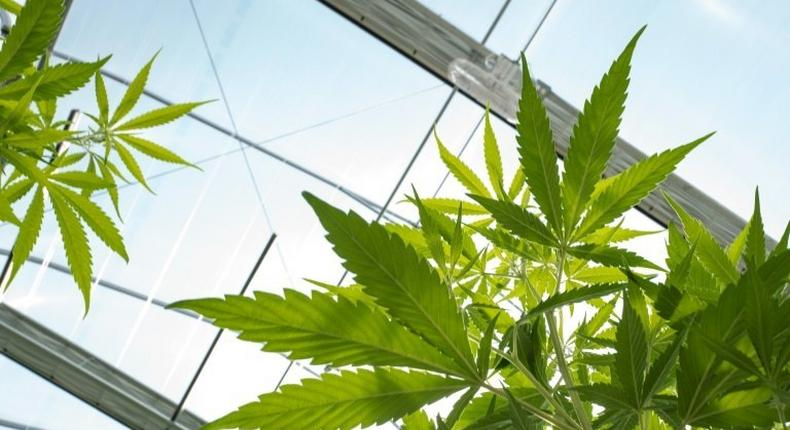 Germany joins a long list of European countries that have legalised some cannabis products or decriminalised possession of small amounts of the drug