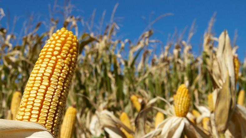 GMO wkroczy do Polski? PiS ostrzega przed rządową propozycją