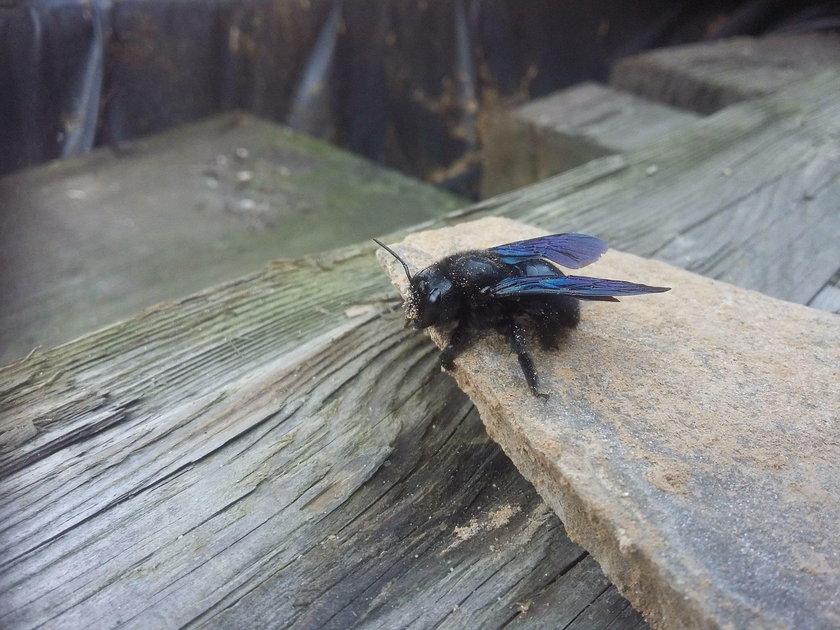 """""""Czarne pszczoły"""" w Polsce. Czy są groźne?"""