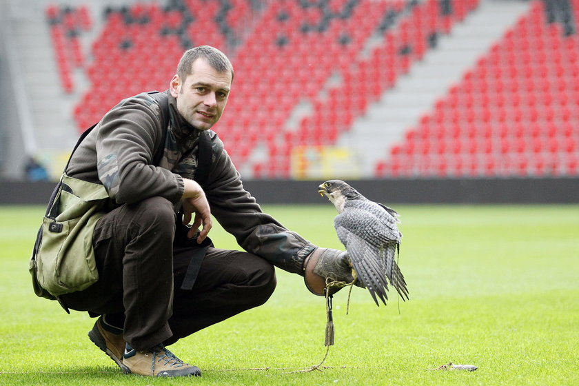 Sokolnik z ptakiem pracuje na tyskim stadionie