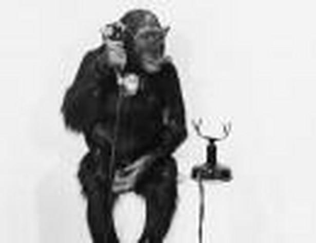 Urzędnik, urząd, praca, małpa