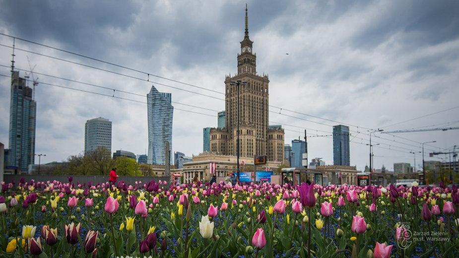 Warszawa: w ciągu dwóch lat posadzono blisko milion tulipanów. Teraz kwitną