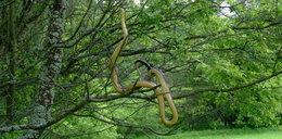 Przerażający widok w Bieszczadach. Na drzewie wił się gigantyczny wąż