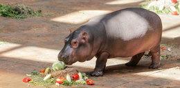 Hipopotam dostał piłkę za 650 euro