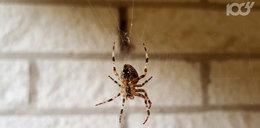 Boisz się pająków? Poznaj zapachy, które je odstraszą