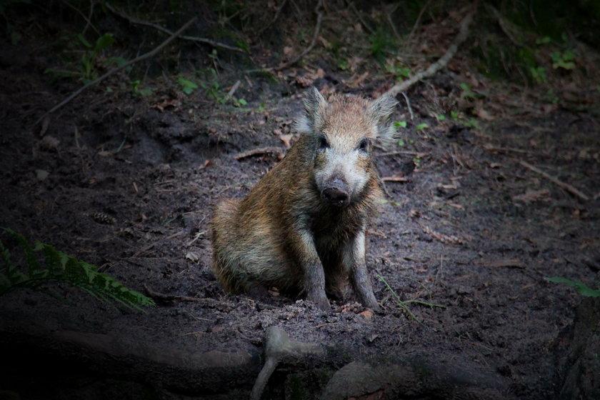 """Ekspert dla Fakt24: """"Żeby pozbyć się ASF, trzeba byłoby zlikwidować wszystkie dziki"""""""