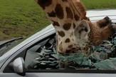 žirafa safari automobil prozor