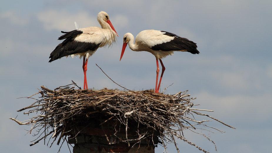 Bociany czasem zakładają gniazda na kominie -  Vladimir/stock.adobe.com