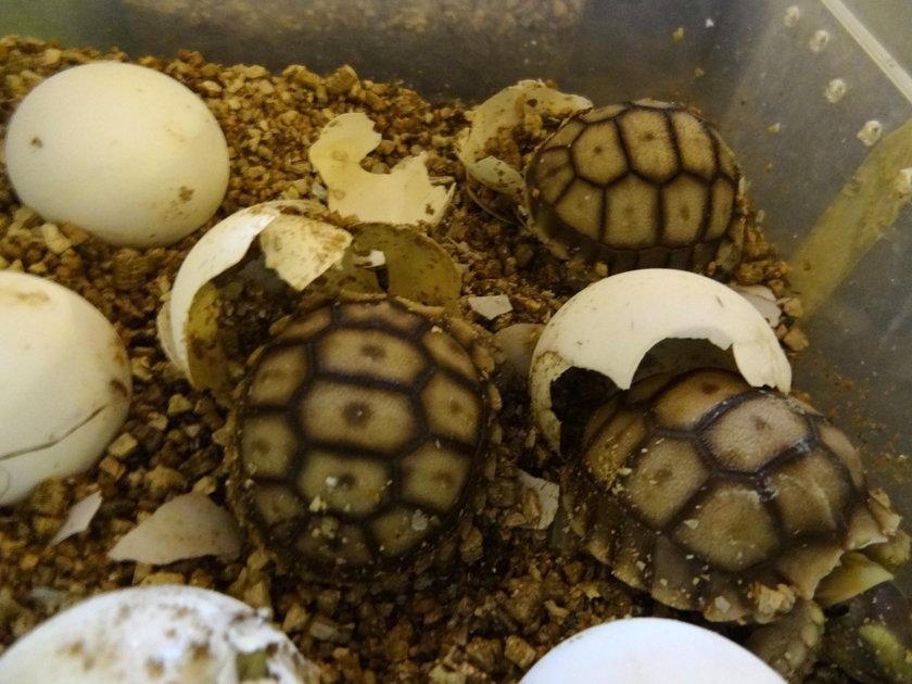 Malutkie żółwie muszą trochę podrosnąć