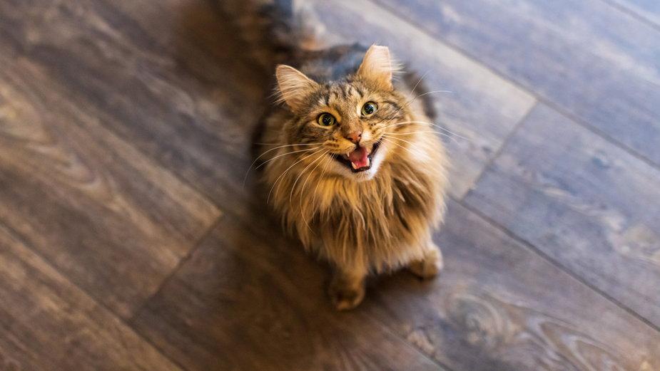 Dlaczego kot miauczy po jedzeniu?