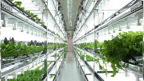 Toshiba rozpoczyna hodowlę warzyw