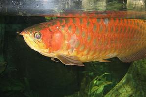 Najskuplja ribica za akvarijum na svetu - najeftinija košta koliko PROSEČNA SRPSKA PLATA, najkuplja kao STAN U BEOGRADU