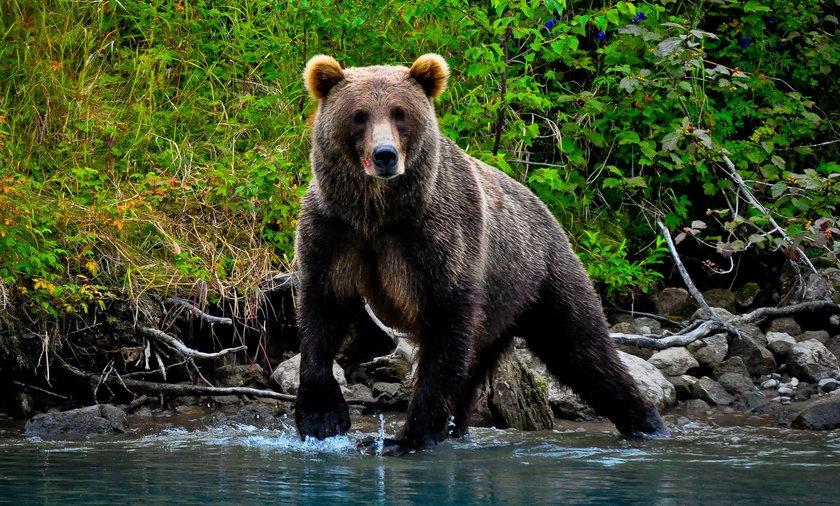 Niedźwiedź wcielił się w rolę parkingowego