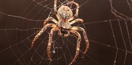 Koniec domowego terroru. Tak wykurzysz pająki