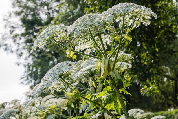 Właściciela nieruchomości do likwidacji szkodliwych roślin może zmusić jedynie wojewódzki inspektor ochrony roślin i nasiennictwa