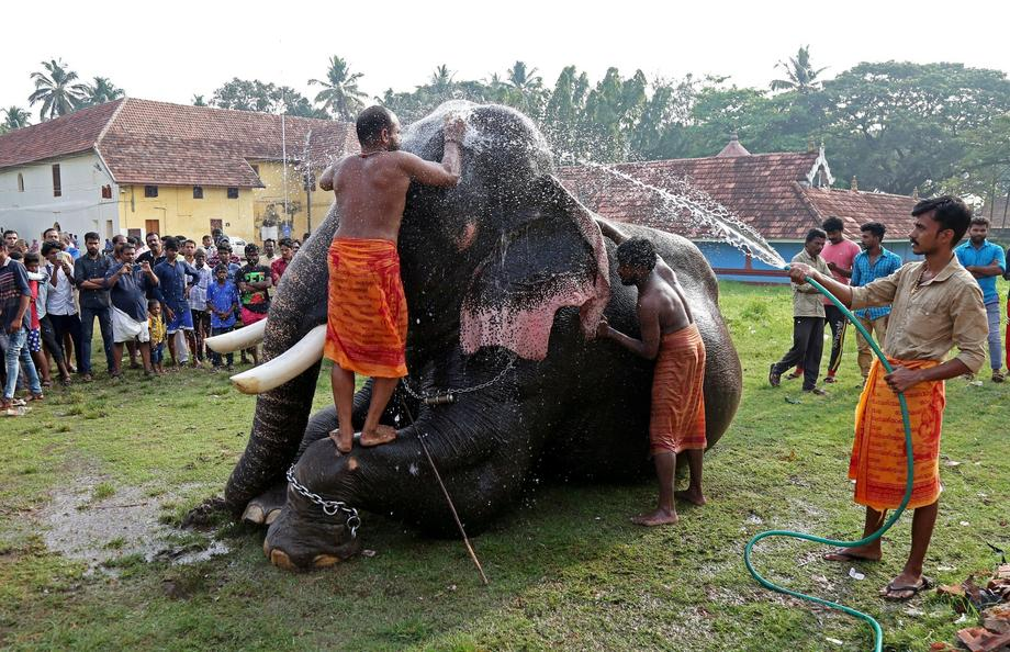 Mahouts bathe an elephant at a temple on the outskirts of Kochi