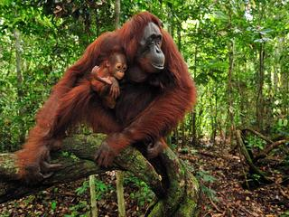 Orangutan (Pongo pygmaeus) female with young in rainforest interior, Camp Leakey, Tanjung Puting Nat