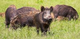 Ministerstwo środowiska chce wystrzelać wszystkie dziki