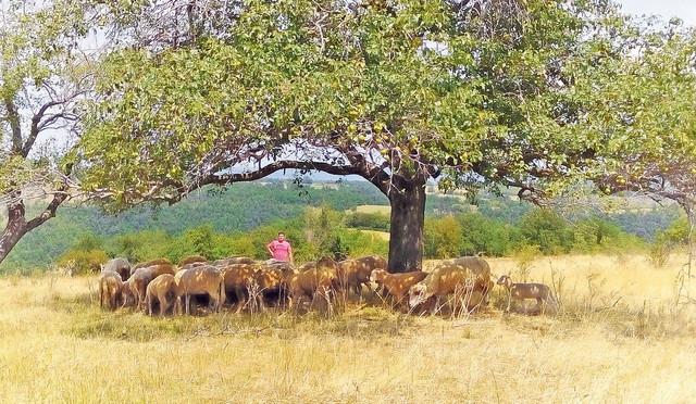 Goran Savković sa svojim stadom ovaca