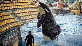 Czy Morgan chce się zabić? Obrońcy zwierząt żądają natychmiastowego wypuszczenia orki na wolność
