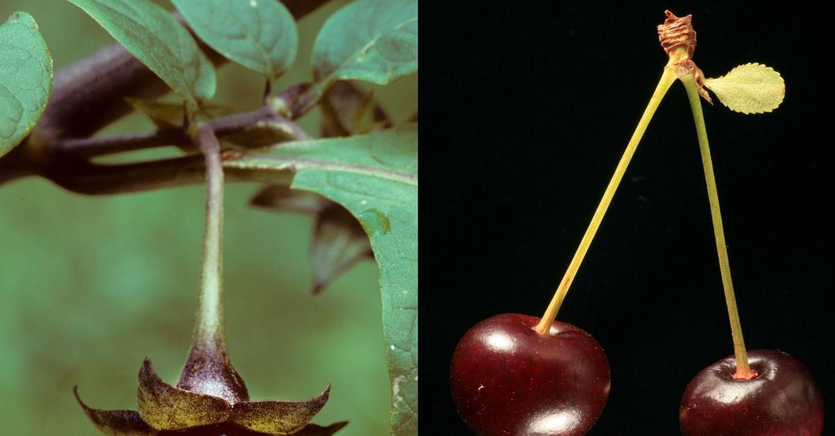 Spożywanie owoców i warzyw bogatych we flawonoidy zmniejsza ryzyko zaburzeń erekcji