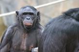 bonobo majmuni4 foto Wikipedia Psych USD
