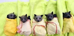 Cudne nietoperzyki uratowane z powodzi